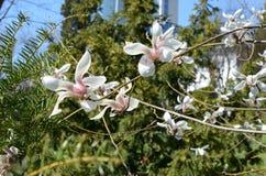 Belles fleurs roses de magnolia Image libre de droits