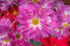 Belles fleurs roses de marguerite pour le fond image libre de droits