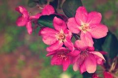 Belles fleurs roses de pomme Images libres de droits