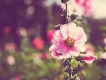 Belles fleurs roses de rose trémière au coucher du soleil Photographie stock libre de droits