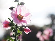 Belles fleurs roses de rose trémière au coucher du soleil Images libres de droits