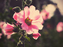 Belles fleurs roses de rose trémière au coucher du soleil Photo libre de droits