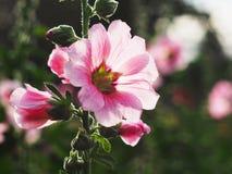 Belles fleurs roses de rose trémière au coucher du soleil Image libre de droits