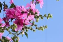 Belles fleurs roses de rose trémière dans le jardin Photos libres de droits