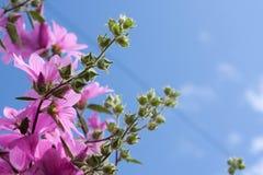 Belles fleurs roses de rose trémière dans le jardin Photo stock