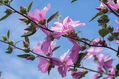 Belles fleurs roses de rose trémière dans le jardin Images stock