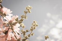 Belles fleurs roses de rose trémière dans le jardin Photographie stock libre de droits