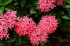 Belles fleurs roses de transitoire dans le jardin photographie stock libre de droits