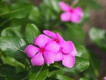 Belles fleurs roses de vinca Photographie stock libre de droits