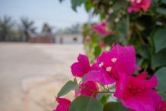 Belles fleurs roses en gros plan de bouganvill?e sur le fond brouill? de parc public image libre de droits
