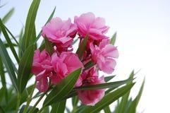 Belles fleurs roses en Turquie Images libres de droits