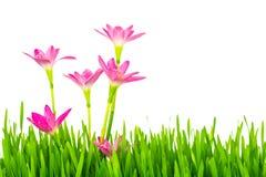 Belles fleurs roses et herbe verte de ressort frais d'isolement dessus Photographie stock