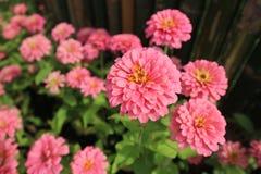 Belles fleurs roses fleurissant dans le jardin au parc et au fond brouillé Photos stock