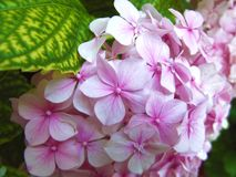 Belles fleurs roses naturelles de boule d'hortensia images libres de droits
