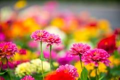 Belles fleurs roses sur le fond d'herbe verte Photo stock