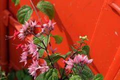 Belles fleurs roses sur le fond orange Image libre de droits
