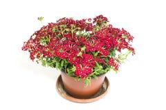 Belles fleurs rouges dans le pot de fleurs d'isolement sur le fond blanc images libres de droits