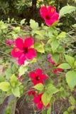 Belles fleurs rouges de ketmie Photo libre de droits