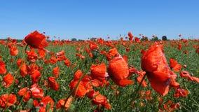 Belles fleurs rouges de pavot banque de vidéos