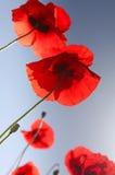 Belles fleurs rouges de pavot en été Image libre de droits