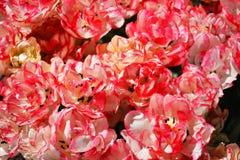 Belles fleurs rouges et blanches colorées vives images stock
