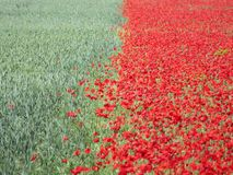 Belles fleurs rouges et vert de céréale photo stock