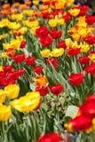 Belles fleurs rouges jaunes colorées de tulipes Photographie stock libre de droits