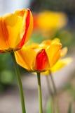 Belles fleurs rouges jaunes colorées de tulipes Photos stock