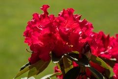Belles fleurs rouges lumineuses dans un jardin de ressort photographie stock