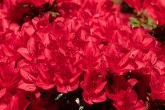 Belles fleurs rouges lumineuses dans un jardin de ressort images libres de droits