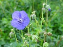 Belles fleurs sauvages bleues, Lithuanie Images libres de droits