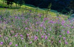 Belles fleurs sauvages colorées de floraison en vue photos stock