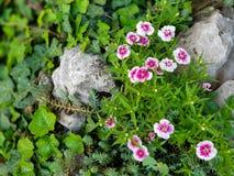 Belles fleurs sauvages de rose et blanches dans l'herbe et les roches photographie stock