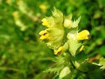 Belles fleurs sauvages jaunes, Lithuanie Photo stock