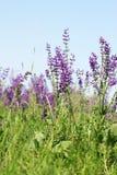Belles fleurs sauvages pourprées Image stock