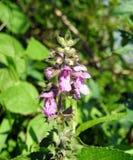 Belles fleurs sauvages violettes, Lithuanie Photos libres de droits