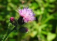 Belles fleurs sauvages violettes, Lithuanie Photo stock