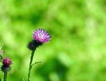 Belles fleurs sauvages violettes, Lithuanie Photographie stock libre de droits