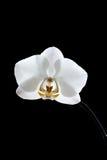 Belles fleurs sensibles blanches d'orchidée, dans l'obscurité sur un noir Photo stock