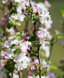 Belles fleurs sur les branches des pommiers Photo libre de droits