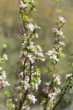 Belles fleurs sur les branches des pommiers Photos stock