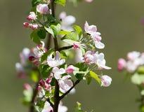 Belles fleurs sur les branches des pommiers Images libres de droits