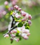 Belles fleurs sur les branches des pommiers Photo stock