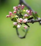 Belles fleurs sur les branches des pommiers Photos libres de droits