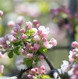 Belles fleurs sur les branches des pommiers Photographie stock libre de droits