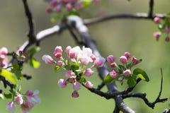 Belles fleurs sur les branches des pommiers Image stock