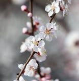 Belles fleurs sur un arbre au printemps Image stock