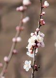 Belles fleurs sur un arbre au printemps Photos libres de droits