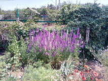 Belles fleurs, végétation dense, plantes grimpantes, été, saison d'été, été chaud, rouge, oreilles fleurissantes photographie stock