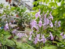 Belles fleurs violettes pourpres fraîches Fermez-vous vers le haut de la fleur pourprée Images stock